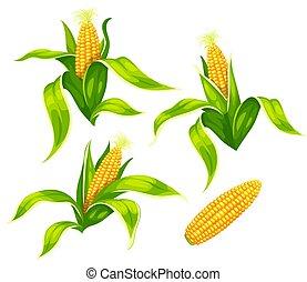 maïs, illustration., épis, maïs, isolé, vecteur, set.