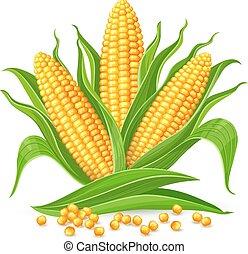 maïs, isolé, épis