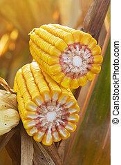maïs, maïs cob, rijp