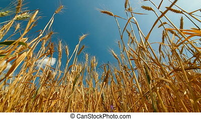 maïs, oreille, or