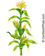 maïs, plante, illustration., épis, maïs, isolé, tige, vecteur, set.