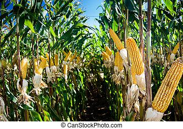 maïs, récolte