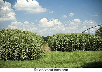 maïs, rangées, 3