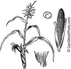 maïs, zea, ouderwetse , koren, mays, of, engraving.