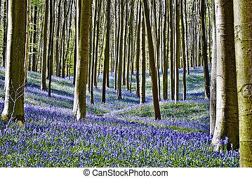 mañana, halle, bluebell, flores, bosque, mágico