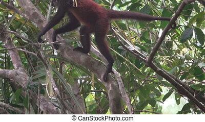 małpa, ascends, drzewo, pająk, powolny-ruch, wspaniały, na