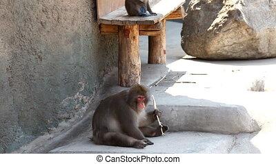 małpa, macierz, dziecko, panning