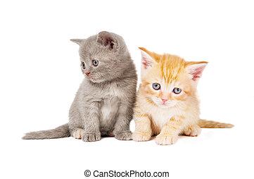 mały, brytyjski, shorthair, kociątka, kot