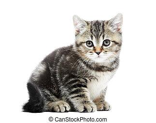 mały, brytyjski, shorthair, kociątko