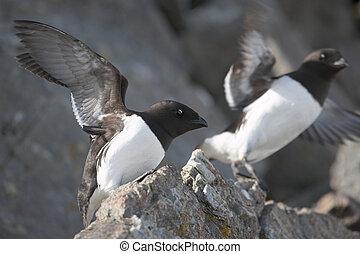 mały, gatunek ptaka, (arctic, birds)