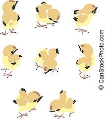mały, kurczak, ilustracja