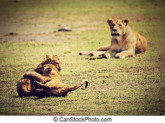 mały, lew, szczeniaki, playing., tanzania, afryka