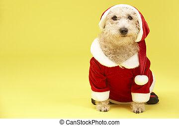 mały pies, w, santa strój