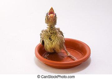 mały, ptak