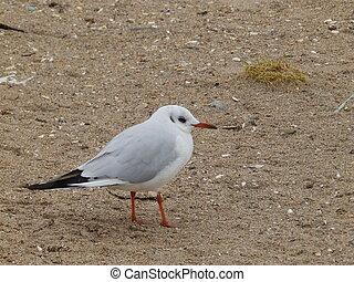 mały, seagull