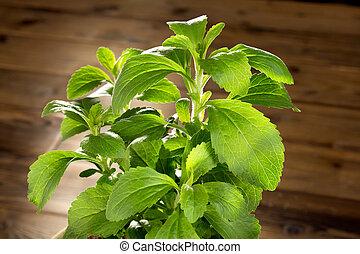 mały, stevia, roślina