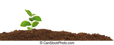 mały, zielony, sadzonka, w, przedimek określony przed rzeczownikami, gruntowy, odizolowany