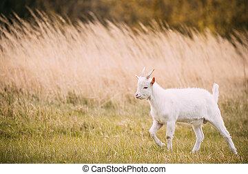 maak goat wijs, schavingen, in, lente, grass., boerderij, de dieren van de baby