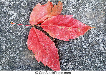 mable, folha, vermelho, ligado, a, road.
