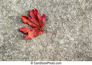 Mable leaf red on the road.