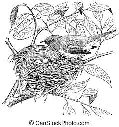 Mac Gillivrays Warbler - Oporornis tolmei