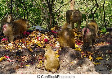 macaca, mono, familia que come, terreno, de, fruits, phuket, thailand.