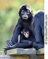 macaco aranha, mãe, com, bebê