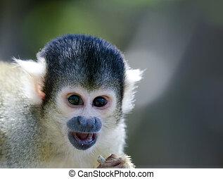 macaco capuchin