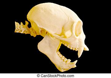 macaco, cranio