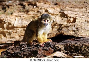 macaco esquilo