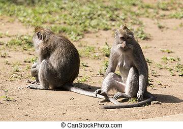 macaco, família, em, sagrado, macaco, floresta, ubud, bali, indonésia