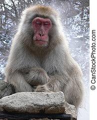 macaco, japonés, relajante
