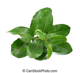 macadamia leaves on white background