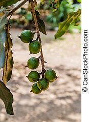 Macadamia nuts on a tree, Guatema