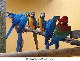 macao, sette, pappagalli