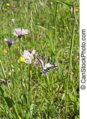 Macaone butterfly resting on a flower of wild onion....