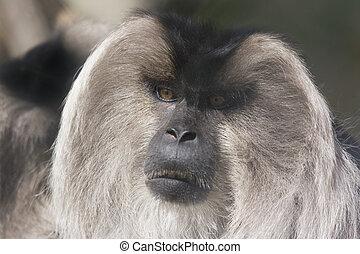 Macaque - a lion tailed macaque closeup