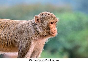 macaque, affe, rhesus