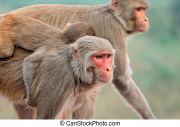 macaque, affen, rhesus