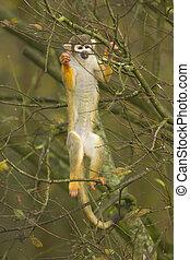 Macaque climbing a tree