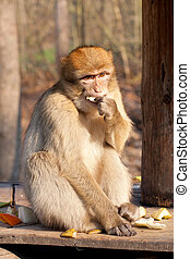 macaque eating a fruits