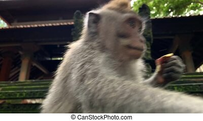 Macaque eating in Monkeys Forest in Ubud on Bali - Amusing...