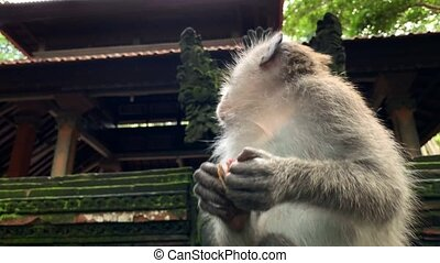 Macaque eating in Monkeys Forest in Ubud on Bali - Funny...
