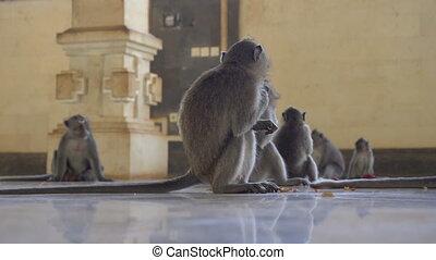 macaque, famille, temple, singes, alimentation