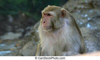 macaque, habitat, sauvage, naturel, rhesus, sien