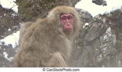 macaque, japonaise