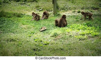 macaque, japonaise, famille