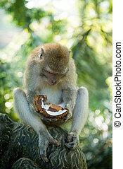 macaque, kokosnöt