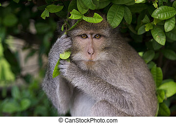 Macaque monkey - A macaque monkey in Bali, Indonesia