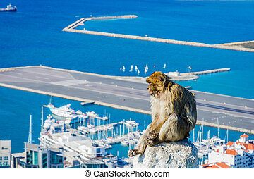 Macaque monkey above Gibraltar city - Macaque monkey sitting...